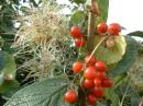 Old Man's Beard and Bryony Berries