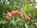 Spindle berries not fully ripened